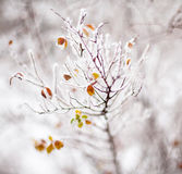 Young tree branches covered with hoarfrost royalty free stock images