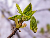 Young tree buds Royalty Free Stock Photos