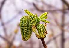 Young tree buds Stock Images