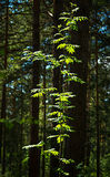 Young tree with fresh green leaves in the forest Royalty Free Stock Photography