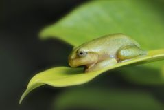 Young tree frog stock images