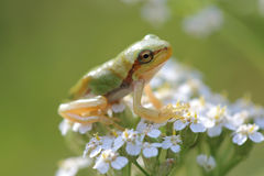 Young tree frog Hyla arborea is sitting on flower Stock Photography