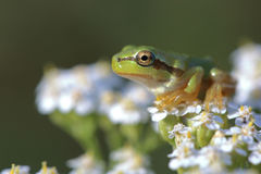 Young tree frog Hyla arborea is sitting on flower Royalty Free Stock Photos