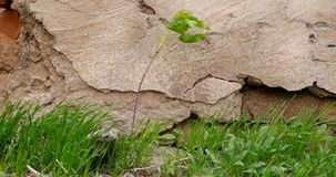 Young tree and grass growing in front of aged stone wall. Small young tree and grass growing in front of aged stone wall stock video footage