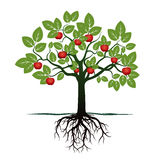 Young Tree with Green Leafs, Roots and Red Apples. Stock Photo
