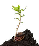 Young tree growing from kernel Stock Photos