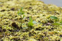 Young tree grows in the moss Stock Photos
