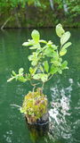 Young tree grows from old stump in lake water. S Royalty Free Stock Photo
