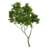 Young tree isolated Royalty Free Stock Photo
