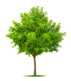 Young tree isolated on white Stock Image