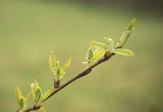 Young tree leaf and buds Stock Images