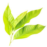 Young tree leaf isolated on white on white background Royalty Free Stock Photography