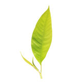 Young tree leaf isolated on white on white background Stock Photography