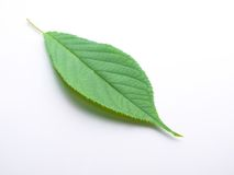 A young tree leaf on white back ground Stock Photography