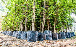 young tree nursery waiting for plant Royalty Free Stock Photography