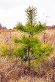 Young tree Pine ordinary royalty free stock photos