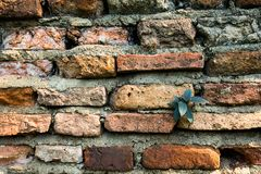 Young tree plant at old bricks wall texture Royalty Free Stock Photo