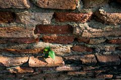 Young tree plant at old bricks wall texture Royalty Free Stock Image