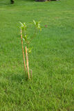 Young Tree with the Poles Stock Photography