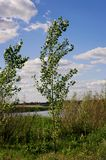 Young tree Populus tremula on a summer meadow. summer landscape. stock photos