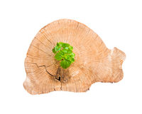 Young tree seedling grow from old stump Stock Image