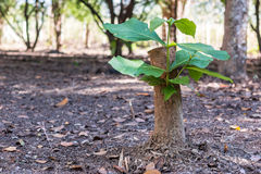 Young tree seedling grow from stump, concept of hope and rebirth. Or new life. Concept Royalty Free Stock Photo