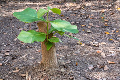 Young tree seedling grow from stump, concept of hope and rebirth. Or new life. Concept Royalty Free Stock Photos