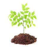 Young tree seedling. Stock Photo