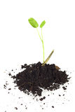 Young  tree and soil isolated Royalty Free Stock Photo