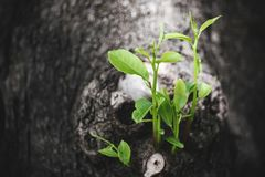Young tree sprout growing from the big tree trunk royalty free stock photo
