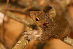 Young Tree Squirrel Royalty Free Stock Images