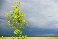 Young tree before storm Stock Photography