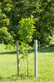 Young tree supported by sticks Royalty Free Stock Photo