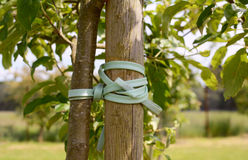 Young tree tied to stake. Young tree trunk tied and staked for support Stock Photo