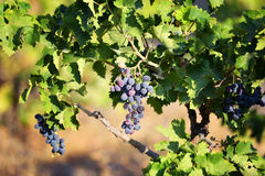 The young tree of vineyard Stock Photos