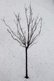 Young tree in the winter season Royalty Free Stock Image