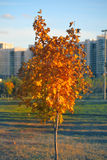 Young tree with yellow leaves in the city park Royalty Free Stock Photos