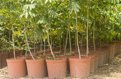 Young trees. Green young trees in garden pots for growing Stock Image
