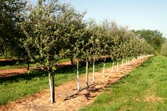 Young trees in a cider apple orchard Royalty Free Stock Image