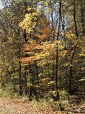 Young Trees in Fall. North Florida Foliage, yellow, orange Royalty Free Stock Images