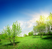 Young trees and green lawn. In spring Royalty Free Stock Photography