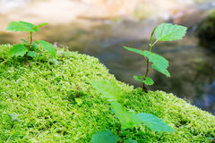 Young trees are growing among a moss Royalty Free Stock Photography