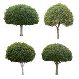 Young trees isolated on white Royalty Free Stock Image