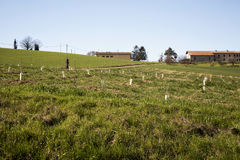 Young trees planted in a field Royalty Free Stock Photo