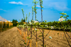 Young trees in a raw. Planted apple trees in orchard royalty free stock photography