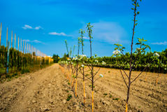 Young trees in a raw. Planted apple trees in orchard Stock Image