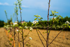 Young trees in a raw. Planted apple trees in orchard Stock Photos