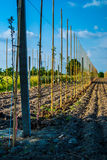 Young trees in a raw. Planted apple trees in orchard Royalty Free Stock Photos