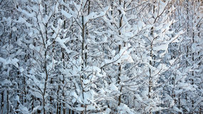 Young trees with snow Stock Images