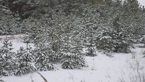 Young trees in snow nature landscape beautiful christmas tree background snow winter forest. Young trees in snow nature landscape beautiful christmas tree stock video